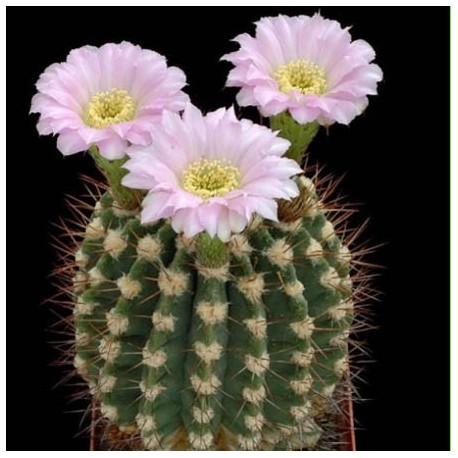 Graines Acanthocalycium peitscherianum (Cactus)