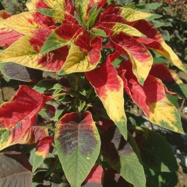 Amaranthus tricolor (Amarante tricolore)