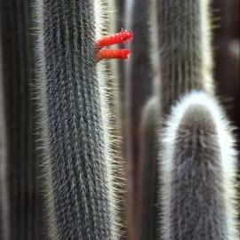 Cleistocactus straussii (Cactus)