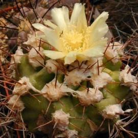 Copiapoa coquimbana (Cactus)