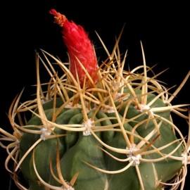 Denmoza rhodacantha (Cactus)