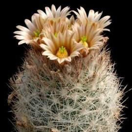 Escobaria dasyacantha (Cactus)