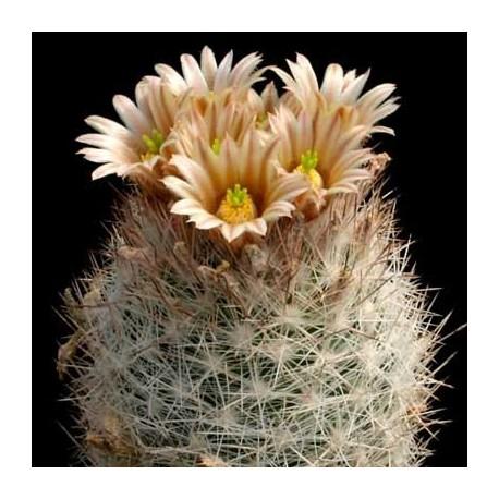 Graines Escobaria dasyacantha (Cactus)