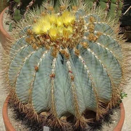 Graines Ferocactus glaucescens (Cactus)
