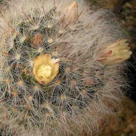 Graines Mammillaria bocasana (Cactus)