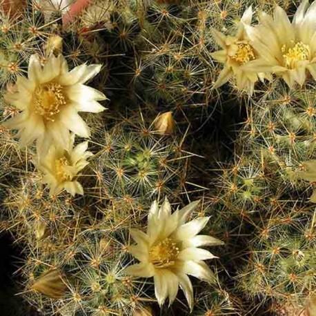 Graines Mammillaria prolifera (Cactus)