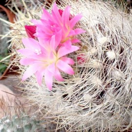 Neoporteria nidus (Cactus)