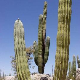 Pachycereus pringlei (Cactus)