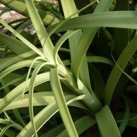 Agave bracteosa (Succulente)