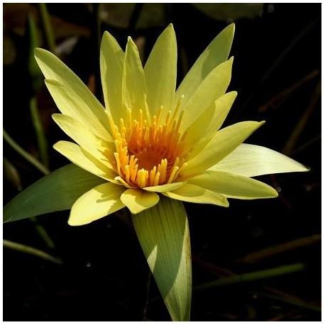 Graines Nymphea eldorado jaune (Lys d'eau)