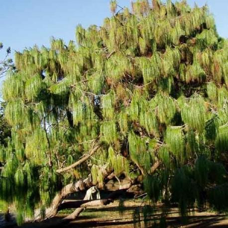 Graines Pinus patula (Pin pleureur du Mexique)