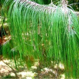 Pinus patula (Pin pleureur du Mexique)
