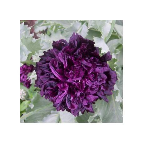 Graines Papaver somniferum var. paeoniflorum noir (Pavot à opium)