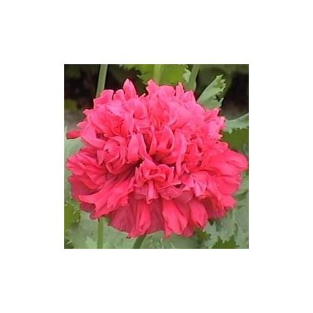 Graines Papaver somniferum var. paeoniflorum 'Bombast Red' (Pavot à opium)