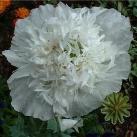Papaver somniferum var. peoniflorum blanc (Pavot à opium)