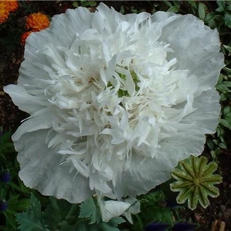 Graines Papaver somniferum var. paeoniflorum blanc (Pavot à opium)