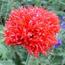 "Papaver paeoniflorum ""Oase"" (Pavot à opium)"