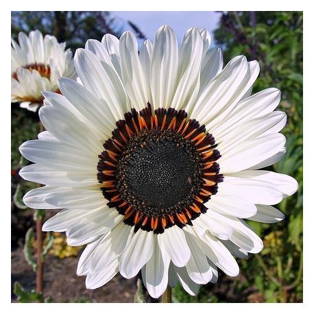 Graines Venidium fastuosum Blanche (Marguerite africaine)