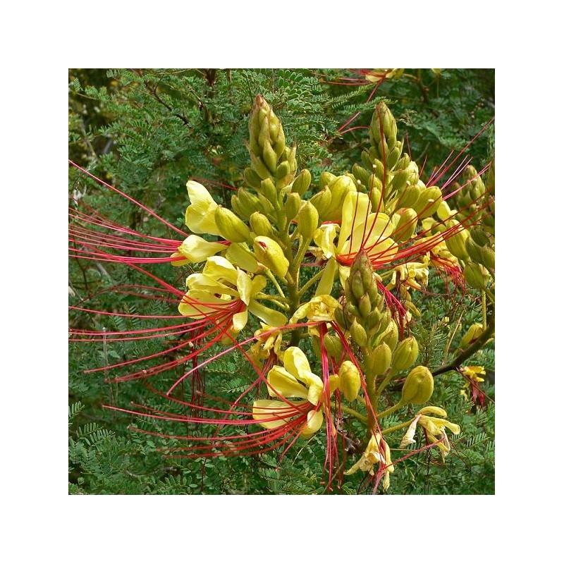 Graines caesalpinia gilliesii oiseau de paradis - Plante oiseau de paradis ...