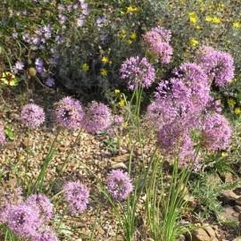 Allium stellatum (Ail étoilé du Canada)