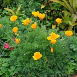 Eschscholzia california (Pavot de Californie)