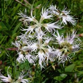 Dianthus superbus (Oeillet superbe)