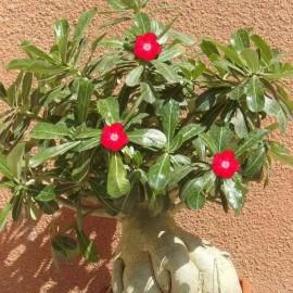 Graines Adenium Obesum 'Arrogant' (Rose du désert)