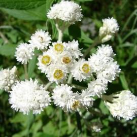 Graines Anaphalis margaritacea (Immortelle d'argent)
