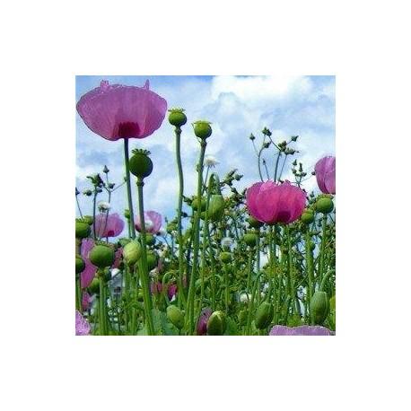 Graines Papaver 'Giganteum' (Pavot à opium)