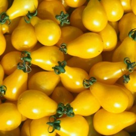 Tomate Yellow Pearshaped (tomate cerise ancienne)