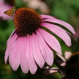 Echinacea purpurea 'Magnus' (Echinacée)