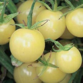 Graines Tomate cerise 'White Cherry' seed