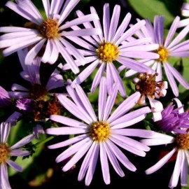 Graine Aster sericeus (Aster d'autome)