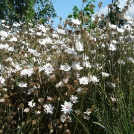 Graines Catananche caerulea ''Alba' (Cupidone blanche)