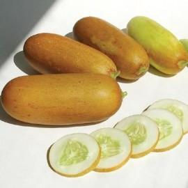 Graine Concombre Poona Kherra