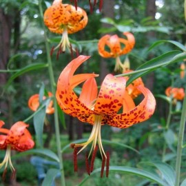 Graines Lilium superbum (Lis Superbe)