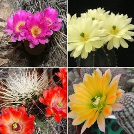 Graines Echinocereus MIX (Cactus)