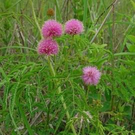 Graines Schrankia uncinata (Plante sensitive)