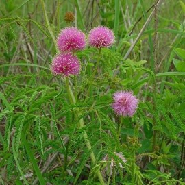 Graine Schrankia uncinata (Plante sensitive)
