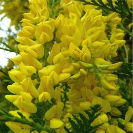 Graines Laburnum anagyroides (Cytise commun)