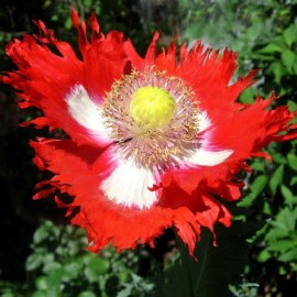 Graines Papaver somniferum 'Danish Flag' (Pavot à opium)