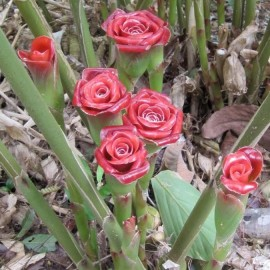 Graines Etlingera cornerii 'Siam Rose' (Gingembre tropical)