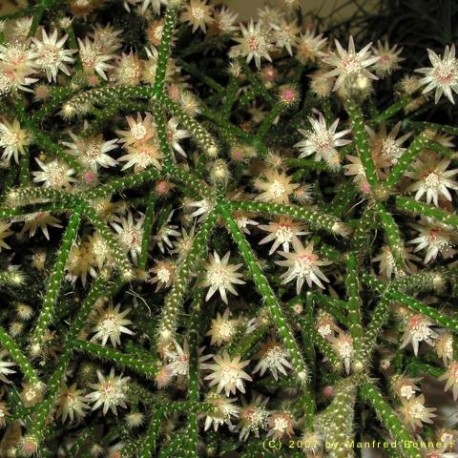 Graines Rhipsalis ianthothele (Cactus)