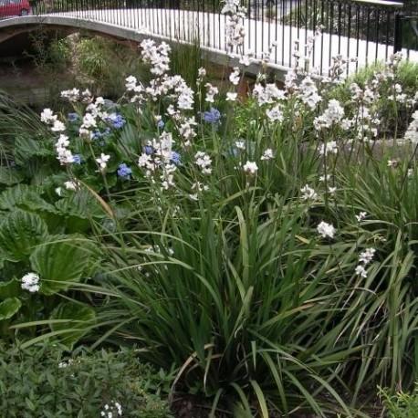 Graines Libertia grandiflora (Iris de Nouvelle-Zélande)