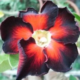 Graines Adenium Obesum 'Black fire' (Rose du désert)