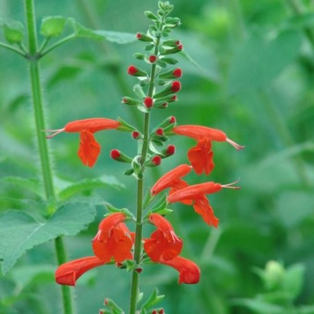 Sauge Decorative A Fleurs Rouge