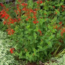 Graines Salvia coccinea (Sauge rouge écarlate)