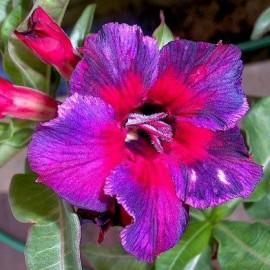 Graines Adenium Obesum 'Kaleidoscope' (Rose du désert)