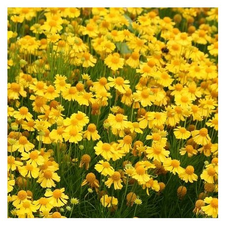Graine Helenium amarum Goldfield