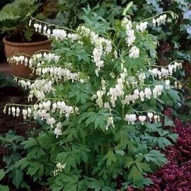 Graines Dicentra spectabilis Blanc (Coeur de marie)